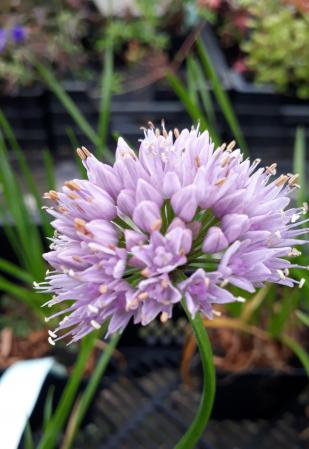 Allium senescens 'Lisa Green'