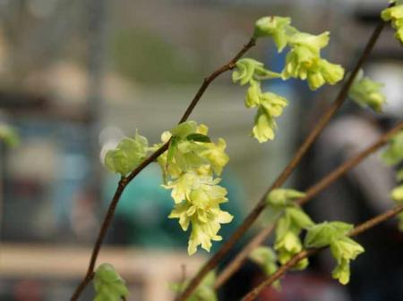 Corylopsis glabrescens 'Lemon Drops'