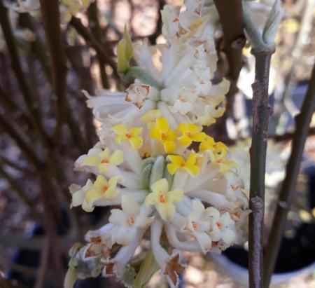 Edgeworthia chrysantha 'Winter Liebe'