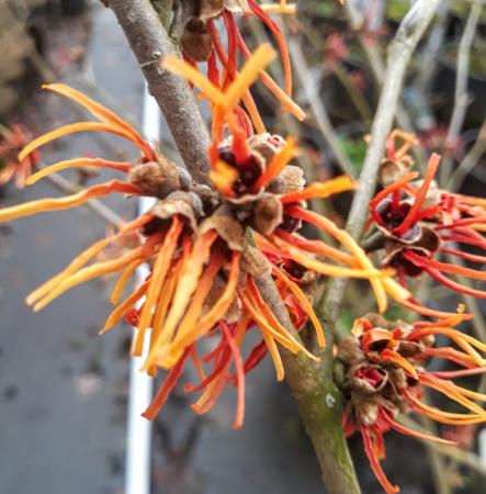 Hamamelis intermedia 'Twilight'