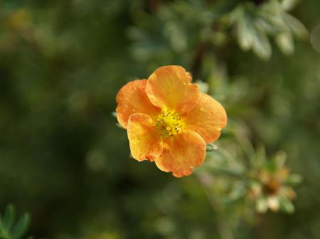 Potentilla fructicosa 'Sunset'