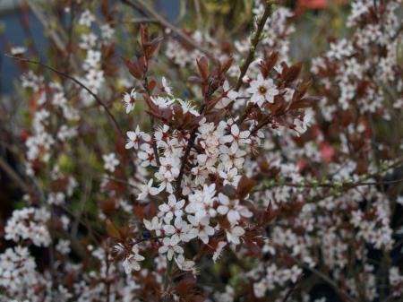 Prunus spinosa 'Purpurea'