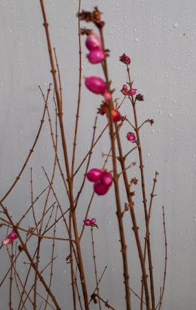 Symphoricarpos doorenbosii 'Magic Berry'