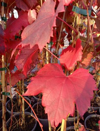 Vitis 'Spetchley Red'