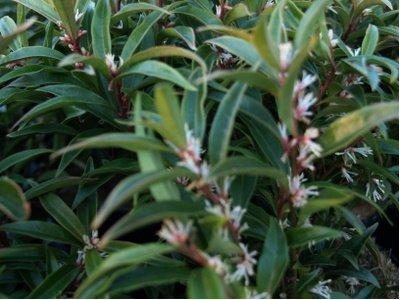 Sarcococca hookeriana 'Purple Stem'