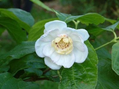 Calycanthus chinensis