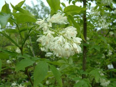 Staphylea colchica