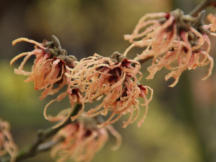 Hamamelis x intermedia 'Spanish Spider'